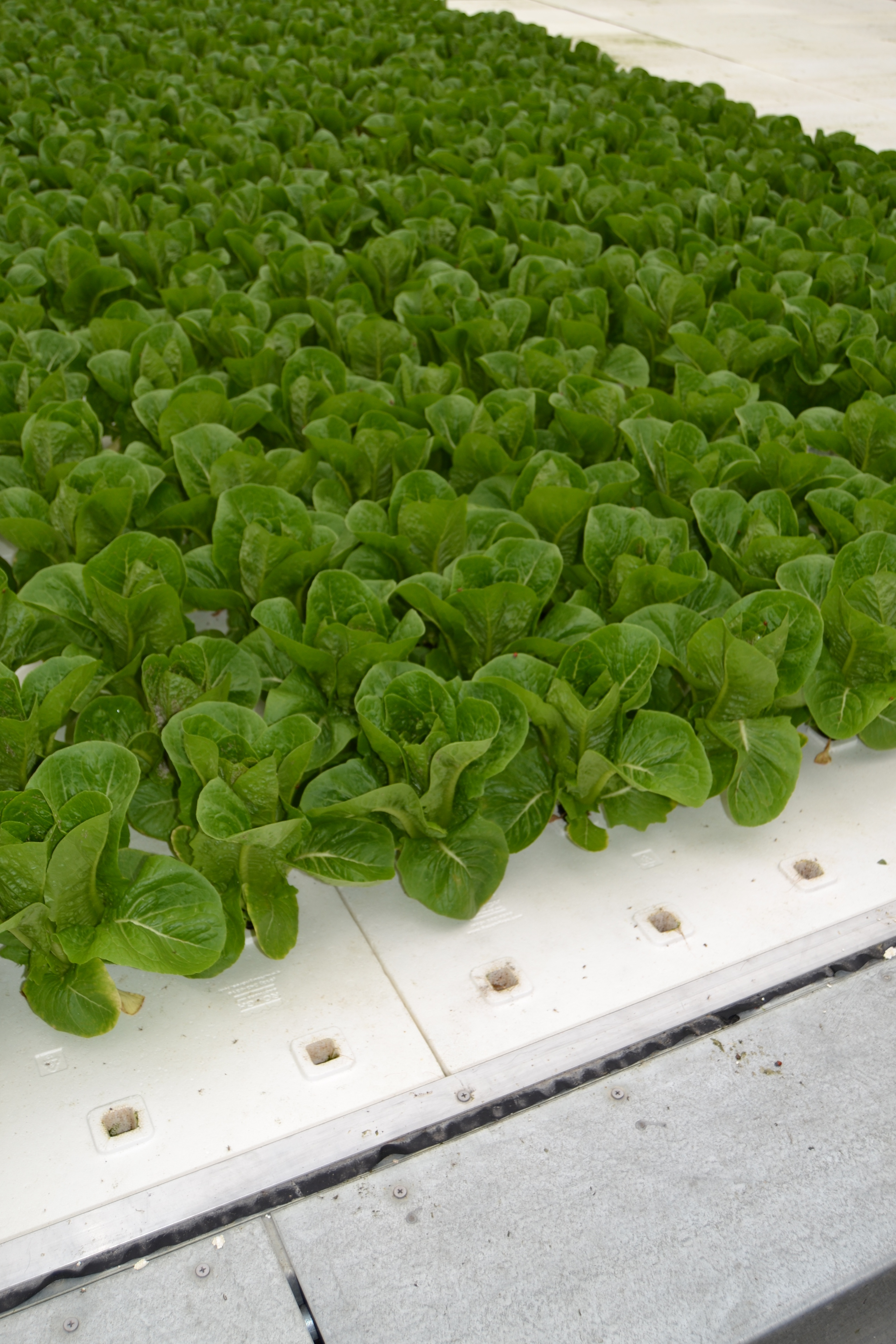 Hydroponic floating raft lettuce